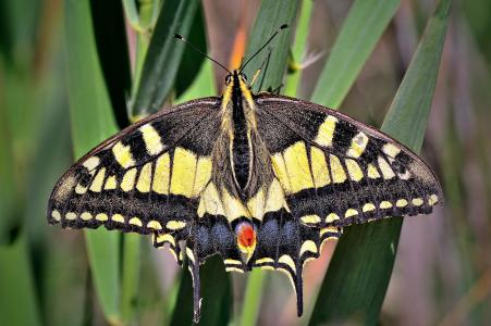 Macaon,Papilio machaon,奶奶,宏